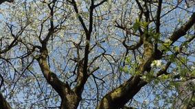 flor de cerejeira na mola com movimentação da câmera video estoque
