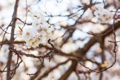 flor de cerejeira na mola fotografia de stock royalty free