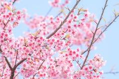flor de cerejeira na mola foto de stock royalty free