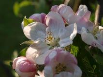 Flor de cerejeira na primavera Foto de Stock Royalty Free