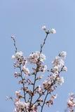 Flor de cerejeira no céu azul Fotografia de Stock Royalty Free