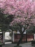 Flor de cerejeira no jardim asiático Imagens de Stock Royalty Free