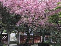 Flor de cerejeira no jardim asiático Fotografia de Stock Royalty Free