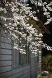 Flor de cerejeira no luminoso brilhante contra a parede da casa imagem de stock royalty free