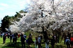 Flor de cerejeira no parque alto, ONTÁRIO, CANADÁ Fotografia de Stock Royalty Free