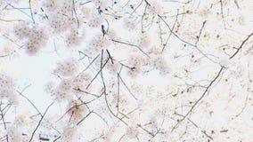 Flor de cerejeira no vento vídeos de arquivo