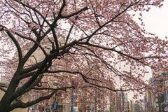 Flor de cerejeira nova com construções distantes da cidade atrás de, na mola adiantada, Tóquio, Japão Imagem de Stock