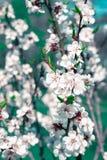 A flor de cerejeira nova da mola floresce o close-up no borrão colorido b Foto de Stock