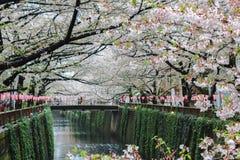 Flor de cerejeira ou Sakura no canal de Meguro Fotografia de Stock