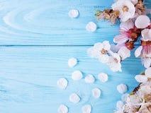 A flor de cerejeira pode ramificar primavera no fundo de madeira azul foto de stock royalty free
