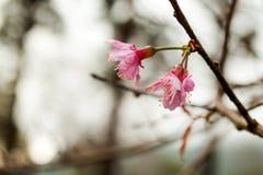 Flor de cerejeira próxima acima no fundo borrado Fotos de Stock Royalty Free