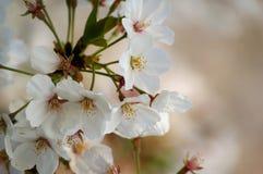 Flor de cerejeira romântica Foto de Stock
