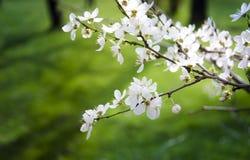 Flor de cerejeira sakura bonito Fundo verde foto de stock royalty free
