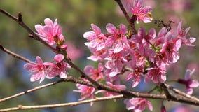 A flor de cerejeira, sakura floresce, cidade do Lat da Dinamarca, província de Lam Dong, Vietname filme