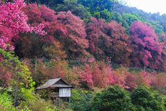 Flor de cerejeira tailandesa Imagem de Stock Royalty Free