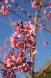 Flor de cerejeira tailandesa de sakura Imagens de Stock