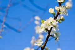 Flor de cereza Fotos de archivo libres de regalías