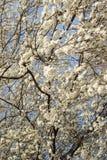 Flor de cereza imágenes de archivo libres de regalías