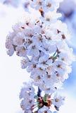 Flor de cereza Imagen de archivo libre de regalías