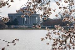 Flor de cereza. Imagenes de archivo