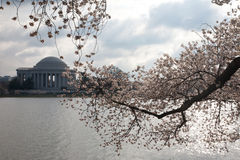 Flor de cereza. Foto de archivo libre de regalías