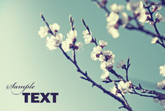 Flor de cereza Imagen de archivo
