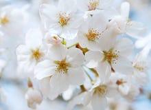 Flor de cereza Fotos de archivo