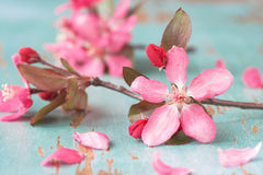Flor de cereza Imagenes de archivo