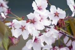 Flor de cereza Foto de archivo