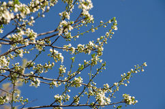 Flor de cereza blanco Imagen de archivo