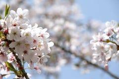 Flor de cereza blanco Foto de archivo libre de regalías