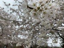 Flor de cereza blanco imágenes de archivo libres de regalías
