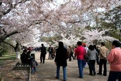 Flor de cereza en el resorte Fotografía de archivo
