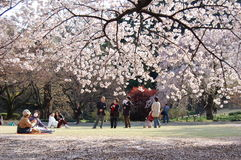 Flor de cereza en Japón Fotografía de archivo libre de regalías