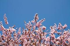 Flor de cereza en resorte Imágenes de archivo libres de regalías