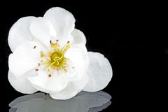 Flor de cereza en tiempo de resorte Fotos de archivo libres de regalías