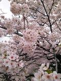 Flor de cereza en Tokio Foto de archivo libre de regalías