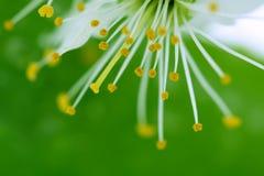 Flor de cereza en verde fotografía de archivo