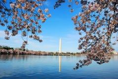 Flor de cereza en Washington DC foto de archivo libre de regalías