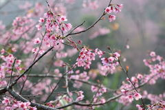 Flor de cereza, flor rosada de sakura con gota de lluvia Imagen de archivo libre de regalías