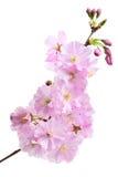 Flor de cereza (flores de sakura), en blanco Foto de archivo