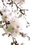 Flor de cereza oriental Imágenes de archivo libres de regalías