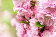 Flor de cereza oriental Fotografía de archivo libre de regalías