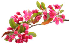 Flor de cereza rojo Imagenes de archivo