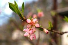 Flor de cereza rojo fotos de archivo libres de regalías
