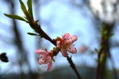 Flor de cereza rojo fotos de archivo
