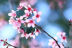 Flor de cereza rosado Imagen de archivo
