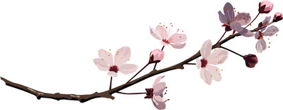 Flor de cereza rosado stock de ilustración