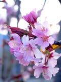 Flor de cereza rosado Fotografía de archivo libre de regalías