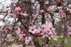 Flor de cereza rosado Bokeh Foto de archivo libre de regalías